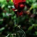 ARCHE-Foto_To_A_Wild_Rose_2