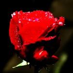 ARCHE-Foto_To_A_Wild_Rose_3
