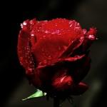 ARCHE-Foto_To_A_Wild_Rose_4