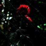 ARCHE-Foto_To_A_Wild_Rose_6