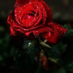 ARCHE-Foto_To_A_Wild_Rose_7