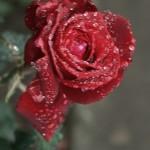 ARCHE-Foto_To_A_Wild_Rose_8