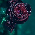 ARCHE-Foto_To_A_Wild_Rose_9