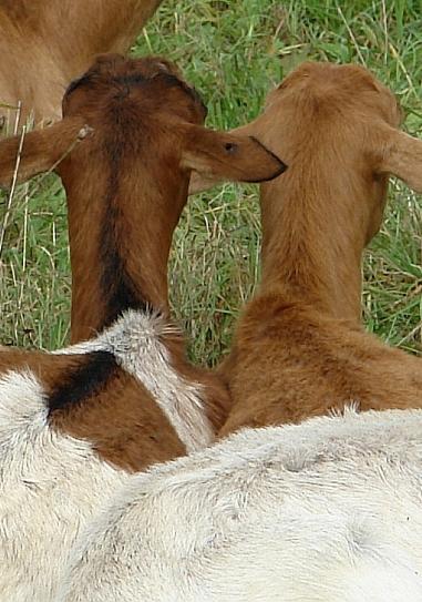 Zu zweit. Gilt auch für Ziegen und sonstige Tierarten ?