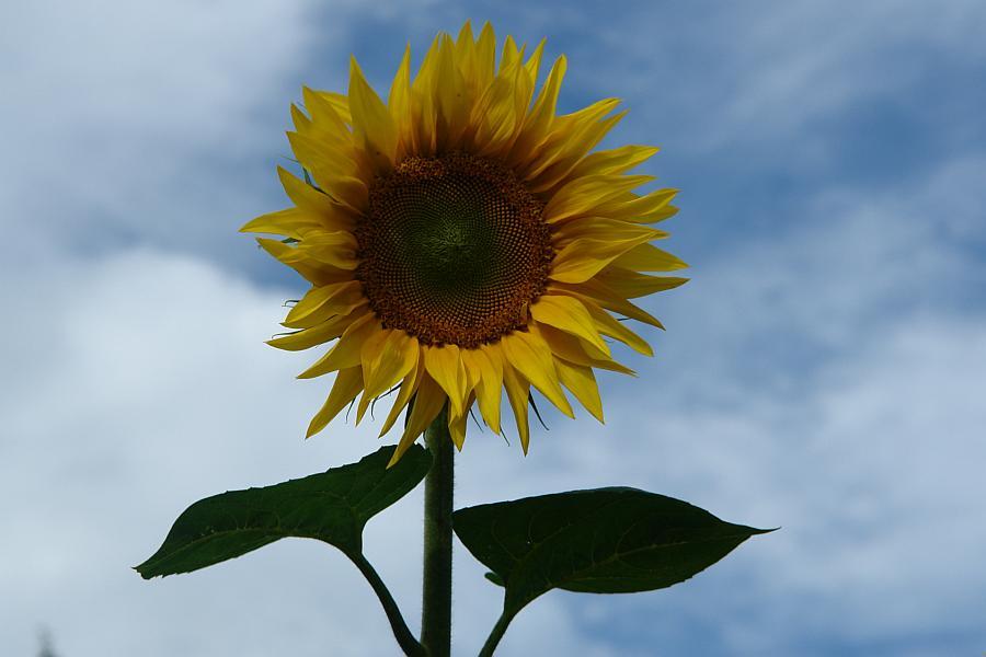 ARCHE Keltern-Weiler Sonnenblumen auf dem Felde_00