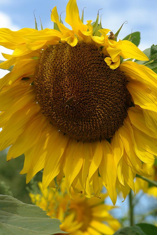 ARCHE Keltern-Weiler Sonnenblumen auf dem Felde_01