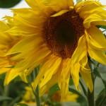 ARCHE Keltern-Weiler Sonnenblumen auf dem Felde_02
