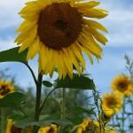 ARCHE Keltern-Weiler Sonnenblumen auf dem Felde_03