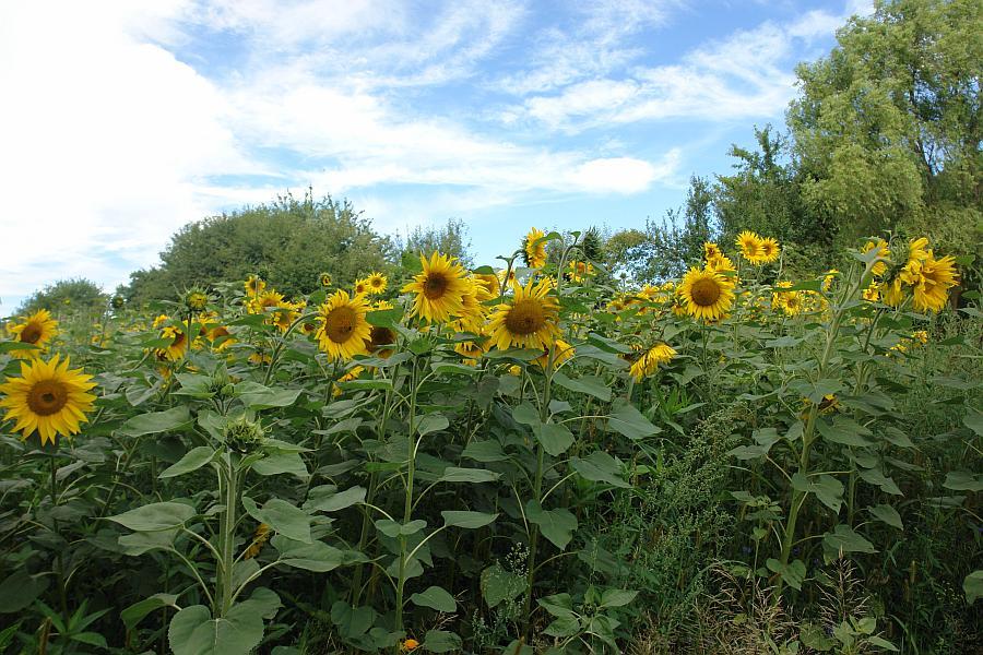 ARCHE Keltern-Weiler Sonnenblumen auf dem Felde_04