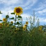 ARCHE Keltern-Weiler Sonnenblumen auf dem Felde_06