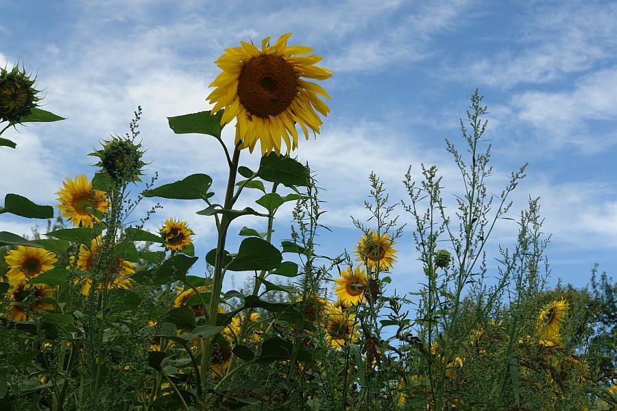 ARCHE Keltern-Weiler Sonnenblumen auf dem Felde_07