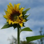 ARCHE Keltern-Weiler Sonnenblumen auf dem Felde_08