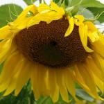 ARCHE Keltern-Weiler Sonnenblumen auf dem Felde_10