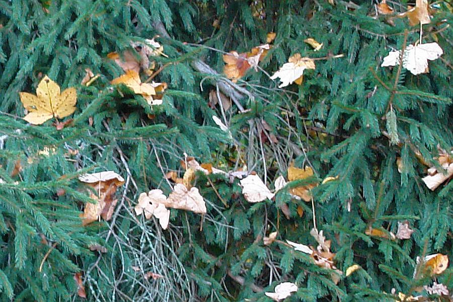 Betrug um das eigene Leben: Woher sollen verwehte Blätter wissen, von welchem Baum sie sind ?